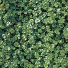 "Moerings waterplanten Waternavel (Hydrocotyle ""Nova-Zealandiae"") zuurstofplant - 10 stuks"