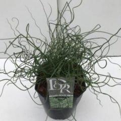 "Plantenwinkel.nl Krulpitrus (Juncus effusus ""Spiralis"") siergras - In 5 liter pot - 1 stuks"