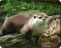 Advanta Otter Muismat