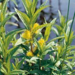Moerings waterplanten Moeraswederik (Lysimachia thyrsiflora) moerasplant - 6 stuks