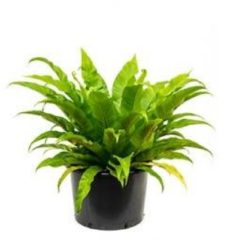 Plantenwinkel.nl Asplenium antiquum varen kamerplant