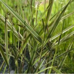 """Moerings waterplanten Kanariegras (Phalaris arundinacea """"Picta"""") moerasplant - 6 stuks"""