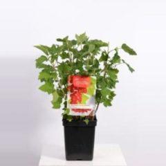 """Plantenwinkel.nl Rode bes (ribes rubrum """"Jonkheer van Tets"""") fruitplanten - In 5 liter pot - 1 stuks"""