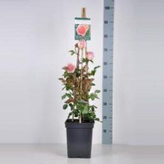 "Plantenwinkel.nl Engelse klimroos (rosa ""Abraham Darby""®)"