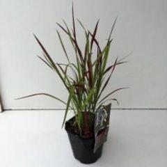 "Plantenwinkel.nl Japans bloedgras (Imperata cylindrica ""Red Baron"") siergras - 6 stuks"