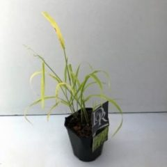 """Plantenwinkel.nl Gierstgras (Milium effusum """"Aureum"""") siergras - 6 stuks"""