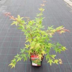 Groene MyPalmShop.nl Acer palmatum 'Sangokaku' - Japanse esdoorn; Totale hoogte 60+ cm incl. Ø19cm pot