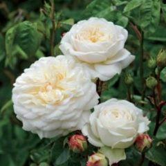 "Plantenwinkel.nl Engelse klimroos (rosa ""Tranquillity""®)"