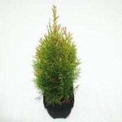"Plantenwinkel.nl Westerse levensboom (Thuja occidentalis ""Smaragd"") conifeer - 6 stuks"