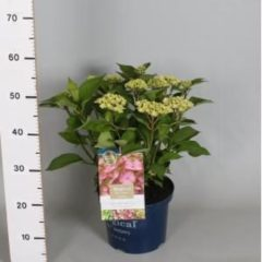 "Plantenwinkel.nl Hydrangea Macrophylla ""Magical Harmony Blauw""® boerenhortensia - 30-40 cm - 1 stuks"