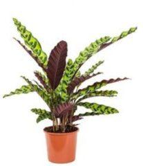 Plantenwinkel.nl Calathea insignis S kamerplant