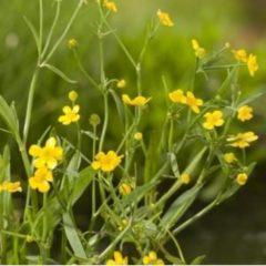Moerings waterplanten Egelboterbloem (Ranunculus flammula) moerasplant - 6 stuks
