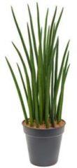 Plantenwinkel.nl Sansevieria spikes XXL kamerplant