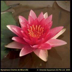 Moerings waterplanten Rode waterlelie (Nymphaea Charles de Meurville) waterlelie - 6 stuks