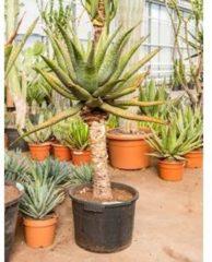 Plantenwinkel.nl Aloe ferox kamerplant