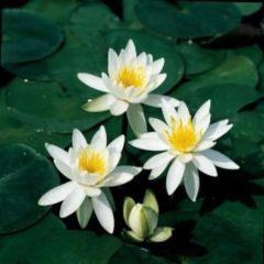 Moerings waterplanten Witte waterlelie (Nymphaea odorata alba) waterlelie - 6 stuks