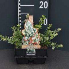 """Plantenwinkel.nl Kardinaalsmuts (euonymus fortunei """"Harlequin"""") bodembedekker - 4-pack - 1 stuks"""