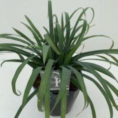 "Plantenwinkel.nl Zegge (Carex laxiculmis ""Bunny Blue"") siergras - In 5 liter pot - 1 stuks"