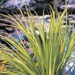 "Moerings waterplanten Bonte dwergkalmoes (Acorus gramineus ""Ogon"") moerasplant - 6 stuks"