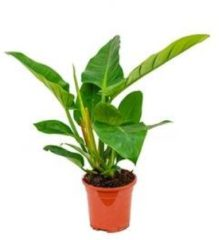 Plantenwinkel.nl Philodendron imperial groen XS kamerplant