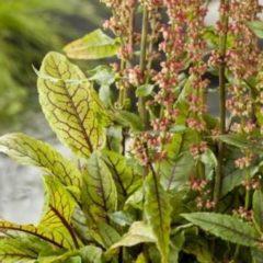 Moerings waterplanten Bonte waterzuring (Rumex sanguinea) moerasplant - 6 stuks