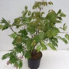 "Plantenwinkel.nl Japanse esdoorn (Acer Japonicum ""Aconitifolium"") heester - 60+ cm - 1 stuks"