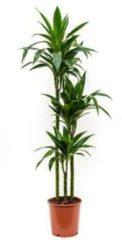Plantenwinkel.nl Dracaena janet craig S kamerplant