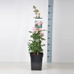 """Plantenwinkel.nl Engelse klimroos (rosa """"Queen of Sweden""""®)"""