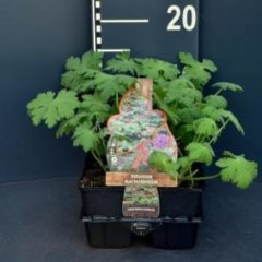 Plantenwinkel.nl Ooievaarsbek (geranium macrorrhizum) bodembedekker - 6-pack - 1 stuks