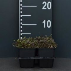 "Plantenwinkel.nl Koperknoopje (leptinella potentillina ""Platt's Black"") bodembedekker - 4-pack - 1 stuks"