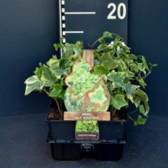 "Plantenwinkel.nl Klimop (hedera helix ""Goldchild"") bodembedekker - 6-pack - 1 stuks"