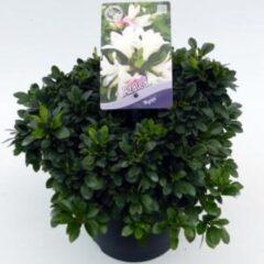 "Plantenwinkel.nl Rododendron (Rhododendron Satsuki ""Myojo"") heester - 3 stuks"