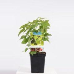 Plantenwinkel.nl Zwarte bes (ribes nigrum) fruitplanten - In 5 liter pot - 1 stuks