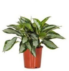 Plantenwinkel.nl Aglaonema silver moon kamerplant