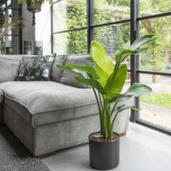 Groene WoonQ Paradijsvogelplant XL 'Strelitzia Nicolai'