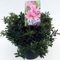 "Plantenwinkel.nl Rododendron (Rhododendron Satsuki ""Korin"") heester - 3 stuks"