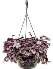 Plantenwinkel.nl Tradescantia zebrina purple hangplant