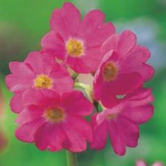 Moerings waterplanten Roze sleutelbloem (Primula rosea) moerasplant - 6 stuks