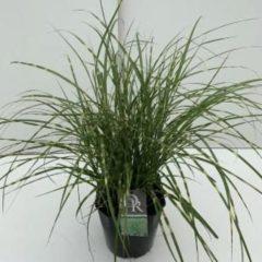 """Plantenwinkel.nl Prachtriet (Miscanthus sinensis """"Little Zebra"""") siergras - In 5 liter pot - 1 stuks"""