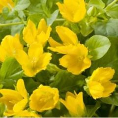 Moerings waterplanten Penningkruid (Lysimachia nummularia) moerasplant - 6 stuks