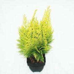 """Plantenwinkel.nl Schijncipres (Chamaecyparis lawsoniana """"Ivonne"""") conifeer - 6 stuks"""