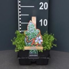 Plantenwinkel.nl Laurentia (isotoma fluviatilis) bodembedekker - 4-pack - 1 stuks