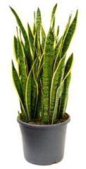 Plantenwinkel.nl Sansevieria laurentii XXXL kamerplant