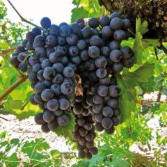 "Plantenwinkel.nl Blauwe druif (vitis vinifera ""Boskoop Glory"") fruitplanten - 5 stuks"