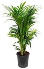 Plantenwinkel.nl Kentia Palm howea forsteriana 14pp kamerplant