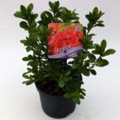 "Plantenwinkel.nl Rododendron (Rhododendron Japonica ""Geisha Orange"") heester - 12-20 cm - 8 stuks"