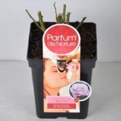 """Plantenwinkel.nl Grootbloemige roos Parfum de Nature (rosa """"Blue Girl""""®) - C5 - 1 stuks"""