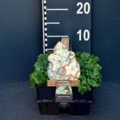 Plantenwinkel.nl Gipskruid (gypsophila cerastioides) bodembedekker - 6-pack - 1 stuks
