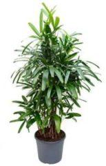 Plantenwinkel.nl Rhapis excelsa XL bamboepalm kamerplant