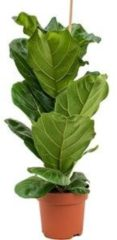Plantenwinkel.nl Ficus lyrata M kamerplant